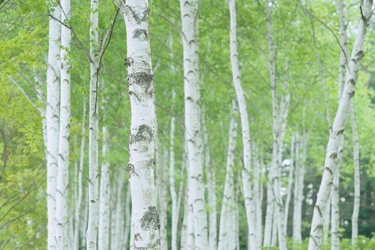 白樺の群生